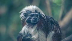 titi_cabeciblanco (mamonto_70) Tags: naturaleza zoo colombia monkeys medellin titi antioquia suramerica 2016 zoologico tities saguinusoedipus nikond90 areametropolitana valledeaburra