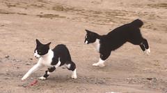 Caution, Cats At Play (Coquine!) Tags: brazil cats brasil blackwhite gatos brasilien florianopolis playful katzen lagoadaconceição riovermelho ilhadesantacatarina christianleyk