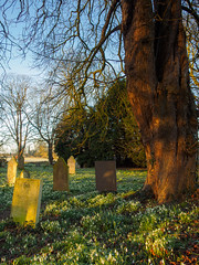 Snowdrop Spring (davepickettphotographer) Tags: uk flowers wild tree church grave memorial village northamptonshire graves gb snowdrops tombstones northants wellingborough johnthebaptist raunds chelveston davepickettphotographer