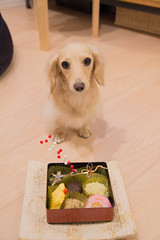 IMG_3922 (yukichinoko) Tags: dog newyear dachshund 犬 正月 kinako ダックスフント ダックスフンド きなこ 御節