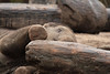 SUNAY (K.Verhulst) Tags: elephant rotterdam blijdorp elephants blijdorpzoo olifanten diergaardeblijdorp sunay aziatischeolifant asiaticelephants