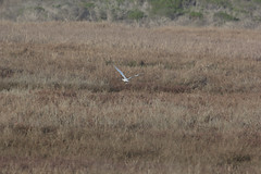 IMG_7575 (armadil) Tags: bird beach birds beaches egret snowyegret mavericks egrets snowyegrets californiabeaches