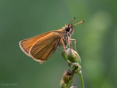 European Skipper (Peter011235) Tags: macro green up butterfly european close skipper inspect thymelicuslineola