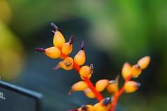 エクメア・ビクトリアナ/ Aechmea victoriana (nobuflickr) Tags: flower nature japan kyoto victoriana 日本 aechmea 花 thekyotobotanicalgarden 京都府立植物園 パイナップル科エクメア属 20160114dsc08664 エクメア・ビクトリアナ