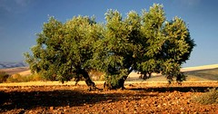 Trees 002 (pozniakliuda) Tags: summer sun lake hot tree sol landscape lago spring spain scenery mediterranean mud grove country farming olive culture ground andalucia spanish clay crop land don growing agriculture andalusia cultivation tierra waterclouds espaa