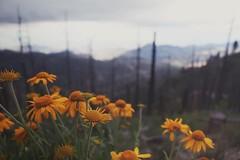 NAPL - M.LEMMON (Rafael Bojorquez Pacheco) Tags: flowers arizona naturaleza mountain flores nature forest us lemon mount bosque montaa
