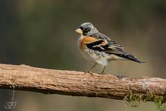 Pinson du Nord (Tifaeris) Tags: bird oiseau brambling fringillamontifringilla pinsondunord fringillids passriformes