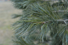 Pinus cembra (Todd Boland) Tags: leaves pine foliage pinus pinaceae