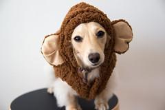 IMG_3909 (yukichinoko) Tags: dog newyear dachshund 犬 正月 kinako ダックスフント ダックスフンド きなこ 御節