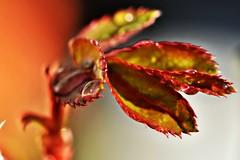 ~~Perles de rose~~ (Jolisa) Tags: macro pluie feuilles rosier gouttelettes fvrier2016