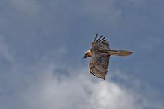 Gypate barbu (Gypaetus barbatus - Bearded Vulture) (Alain-46) Tags: coth beardedvulture gypaetusbarbatus gypatebarbu accipitrids accipitriforme