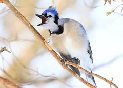 blue jay at Lake Meyer Park IA 854A2346 (lreis_naturalist) Tags: park county blue lake jay reis iowa larry meyer winneshiek
