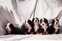 cuccioli di Bovaro del Bernese 20 giorni - Bernese mountain dog puppies 20 days (MiKeLa D.) Tags: dog pet cane del puppy puppies kennel bernese cani cuccioli allevamento bovaro bovarodelbernese animalidacompagnia