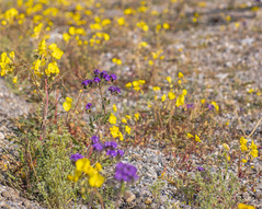 Desert Bloom 20 (MarcCooper_1950) Tags: california flowers color yellow nationalpark nikon dof desert mojave bloom deathvalley wildflowers hdr lightroom d810 superbloom marccooper
