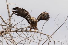 Juvenile Bald Eagle struggles to land - 27 of 27