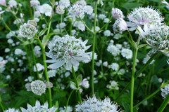 Astrantia major (Apiaceae) (Hatanp arboretum, Tampere, 20150718) (RainoL) Tags: flowers summer plants white plant flower finland geotagged july clr fin tampere astrantia 2015 astrantiamajor umbelliferae apiaceae tammerfors hatanp pirkanmaa hatanparboretum hatanpnarboretum isothtiputki 201507 20150718 geo:lat=6148167007 geo:lon=2375209072