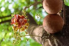 cannonball flower-2 (Nikondxfx (instagram)) Tags: park morning tree nikon centralpark saltlake greens deciduous tamron kolkata cannonball westbengal lecythidaceae couroupita guianensis banabitan