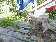 Chupmunk? What chipmunk? (molajen) Tags: dog chipmunks yorkiepoo huntingdog