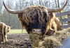 Ginger cow (Wouter de Bruijn) Tags: cow horns scottish bull highland curly fujifilm highlandcow gingercow xt1 fujinonxf35mmf14r