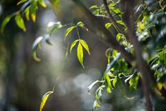 (23fumi) Tags: green leaves leaf nikon dof bokeh cosina voigtlander 58mm nokton  d600    voigtlandernokton58mmf14slii