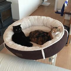 20160228cats003 (detsugu) Tags: cats anko kinako 20160228
