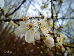 first plum blossom (Ryuu) Tags: flowers blue trees white flower macro nature floral closeup composition petals focus dof blossom bokeh plum sharp stamens bloom sakura ume twigs hanami plumblossom blooming flowerbud bloomingtree