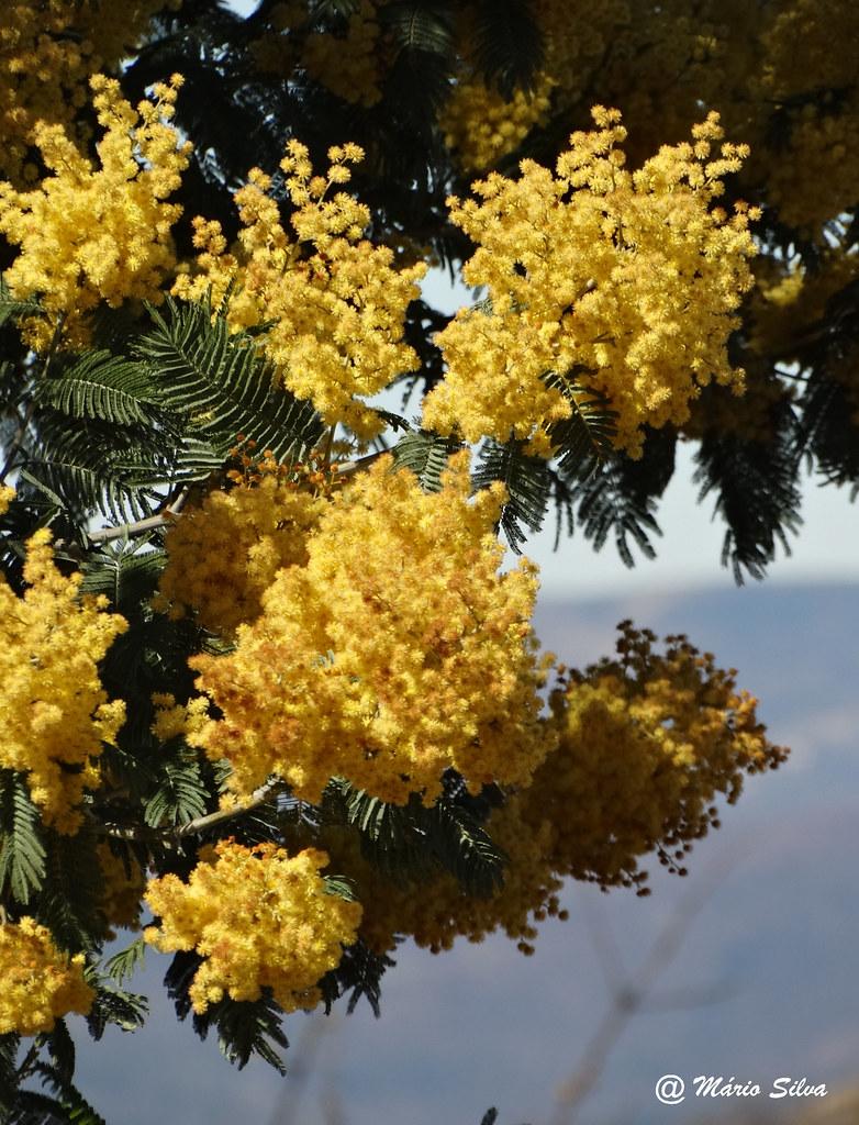 Águas Frias (Chaves) - ... mimosas em flor ...