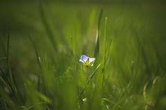 Meadow flower (frantiekl) Tags: blue plant flower detail green nature grass spring bokeh outdoor meadow depthoffield serene bohemia tenderness