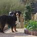 Disa in the garden