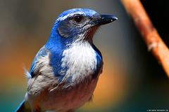 "Western_Scrub-Jay.05 (DonBantumPhotography.com) Tags: california red birds animals ed paradise wildlife unitedstatesofamerica nikkor westernscrubjay ""nikon 200500mm vr"" ""afs f56e ""donbantumphotographycom"" ""donbantumcom"" d7200"""