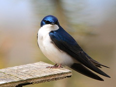 I've got the blues  :) (Paridae) Tags: blue swallow treeswallow tachycinetabicolor featheredfriends afewofmyfavouritethings thingswithwings familyhirundinidae birdsofbritishcolumbia canoneos7d maletreeswallow birdsofrichmond birdsofiona