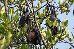 Three bats (Chalto!) Tags: holiday asia bat srilanka ceylon flyingfox fruitbat indianflyingfox cynopterussphinx greatershortnosedfruitbat shortnosedindianfruitbat thalawawulaa