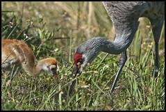 Sandhill Cranes 2016 #6; Face to Face (hamsiksa) Tags: birds florida cranes breeding woodruff sandhillcranes gruscanadensis gruidae countylake populationresidentornithologywildlifefloridavolusia nwrwild