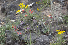 A wild bouquet (Jeff Mitton) Tags: wildflower wondersofnature earthnaturelife brownscanyonnationalmonument scarletgilianoddingonionsneezeweed
