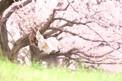 春に乗って (のの♪) Tags: cherry blossom 京都 桜 dd 朝 ブランコ dollfiedream
