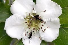 Medlar flower / fiore di Nespola (louisek4) Tags: flowers nature closeup insect micro fiori primopiano insetti