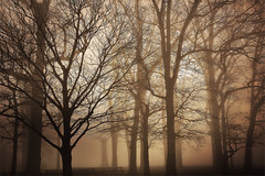 Foggy morning in March in Georgetown Delaware (Michele Dorsey Walfred) Tags: trees fog sepia march grove delaware picnictable morningfog sussexcounty