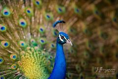 LA County Arboretum, Arcadia Peacocks (JphotoArt.com) Tags: california art birds photography la nikon photos wildlife arboretum f2 boca peacocks 200mm d810 jperryman
