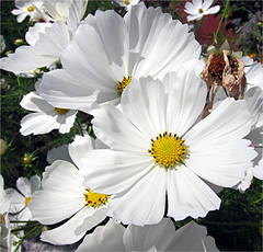The Debutantes (Mary Faith.) Tags: flowers white macro nature group cosmos