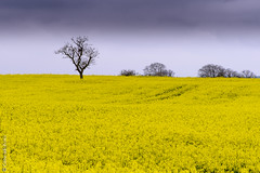Tree in yellow field (Giancarlo - Thanks for > 1,5 Million Views) Tags: nikon champs campagne arbre colza 24120 d810