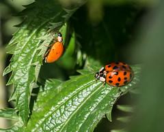 Hot Pursuit. (Omygodtom) Tags: nature bug insect nikon bokeh wildlife iso ladybug tamron90mm selectivefocus d7100