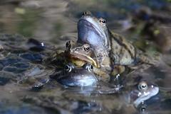mating common frogs, Rana temporaria (willjatkins) Tags: macro frog frogs amphibians rana britishwildlife frogspawn gardenwildlife ranatemporaria gardenpond commonfrog gardenponds macrowildlife britishamphibians hertfordshirewildlife frogsspawning frogspawning ukamphibian britishreptilesandamphibians ukamphibiansandreptiles ukreptilesandamphibians ukamphibians britishamphibiansandreptiles gardenpondwildlife hertfordshireamphibians ukherps ukherpetofauna