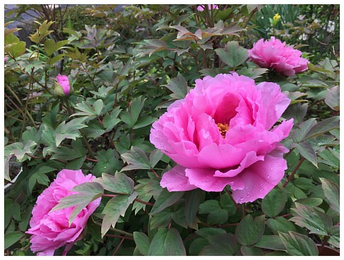 桜雨がシトシト降ってて、少し花冷えのする長崎・大村、年度末です  うちの庭では、ボタンの大輪が知らないうちに花開いてますが、雨が冷たそうです  明日、天気が回復したら、何年か振りに大村公園の桜を観に行ってみようかなぁ