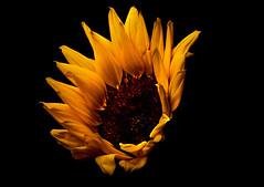 Kissed by the sunlight (Olof Virdhall) Tags: sun flower closeup canon sunflower makro eos5 mkiii coloursonblack