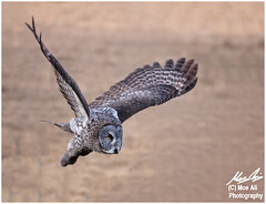 Great Grey Owl On Attack (Moe Ali Photography) Tags: field wings action outdoor wildlife flight greatgreyowl raptor alberta owl prey prairie predator flap soar attacking canon7dmarkii canon100400ii moealiphotography