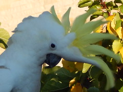 sulphur crested white cockatoo (jeaniephelan) Tags: white bird crest cockatoo cockatooaustralian whitecockatoosulphurcrested