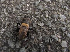20140601-145251LC (Luc Coekaerts from Tessenderlo) Tags: france public fauna nobody cricket creativecommons species fra vak aquitaine krekel ruffel fieldcricket veldkrekel doissat grylluscampestris cc0 coeluc vak201406belves 20140601145251lc