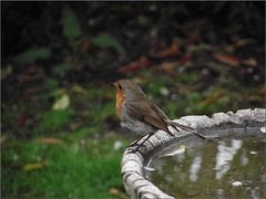 robin (griffindor2009) Tags: nature robin birds outdoors wildlife stourbridge fujifilmfinepixs1900