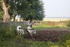 Bastar - Chhattisgarh - India (wietsej) Tags: india zeiss rural landscape cows sony tribal farmer ploughing 2470 chhattisgarh a900 bastar sal2470z