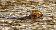 The dog and the ducks... (Wessel...) Tags: dog netherlands animals canon nederland hond kralingen kralingseplas